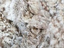 OVK-wolmarkverslag:  Suid-Afrikaanse wolmark toon 'n effense styging | News Article