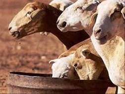 #Droogte: Gewig van totale wol gelewer, neem af; gehalte steeds goed | News Article