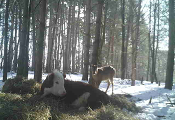 -TBB- Zelda's Feel Good Story: The Cow that escaped and lives with deer! | News Article