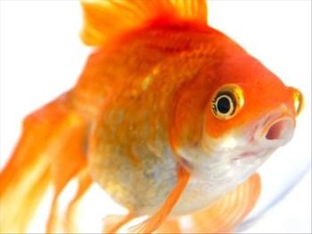 -TBB- Zelda's Feel Good Story: The Boy who loved his goldfish | Blog Post