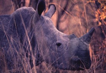 Suspects in rhino horn bust remain in custody  | News Article