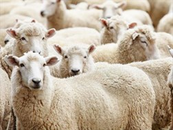 Agri News Podcast: Communal wool sheep farmers benefit from course | News Article