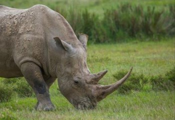 #ProtectOurSpecies: Joint global efforts yielding results in war on rhino poaching | News Article