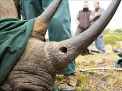 Two in North West court for alleged illegal trade of rhino horns | News Article