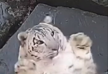 Saturday Express: Snow leopard freaks out when it notices a new camera in its enclosure | News Article