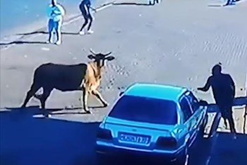 -TBB-Raging bull escapes auction, knocks over woman in Standerton CBD | Blog Post