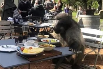 -TBB- A Cheeky Baboon reserves a table at Groot Constantia wine farm! | Blog Post