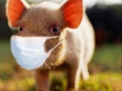 No compensation to farmers losing pigs to African Swine Fever, says FS department | News Article