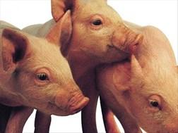 Varkboer platgeslaan nadat hy 800 varke weens Afrika-varkpes verloor | News Article
