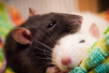 Weird Wide Web - Why would you have a rat as a pet? | Blog Post