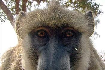 Sydney baboons go on the run before vasectomy | Blog Post