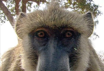 Sydney baboons go on the run before vasectomy | News Article