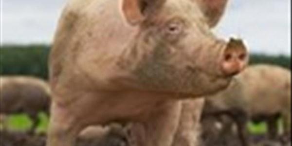 SAVPO: Varkbedryf verstaan impak van Afrika-varkpes | News Article