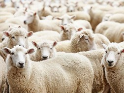 ANC councillor arrested for suspected stolen livestock | News Article