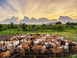 Bedryf bly staande ná #Covid19-uitdagings - Beefmaster | News Article