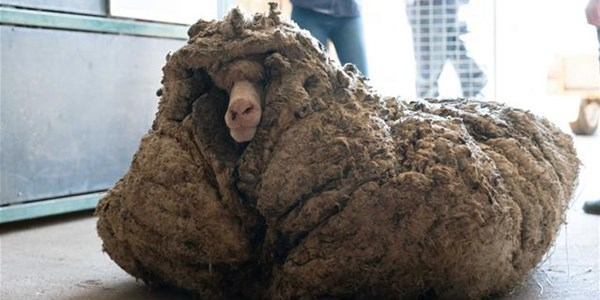 Recovered sheep loses 35kg of fleece | News Article