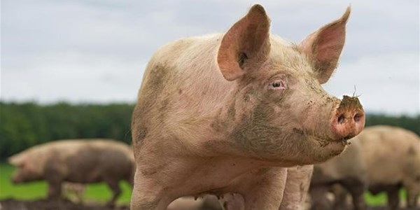 NW department confirms African swine fever outbreak | News Article