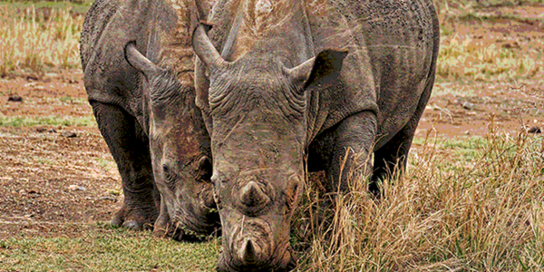 Rhino poachers return after SA eases lockdown restrictions | News Article