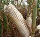 White maize drops to R1700 per ton | News Article