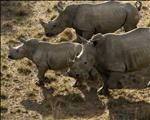 Officials suspended for dehorning rhinos  | News Article
