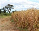 Agbiz predicts comfortable maize supplies | News Article
