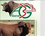 Gehalte bulle en vroulike diere op AG-gene veiling aangebied  | News Article