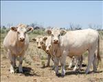 Landbounuus-podcast: Tydelike nasionale moratorium plaas groot druk op rooivleisprodusente   News Article